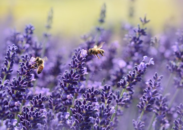 bees-on-purple-flower-164470.jpg