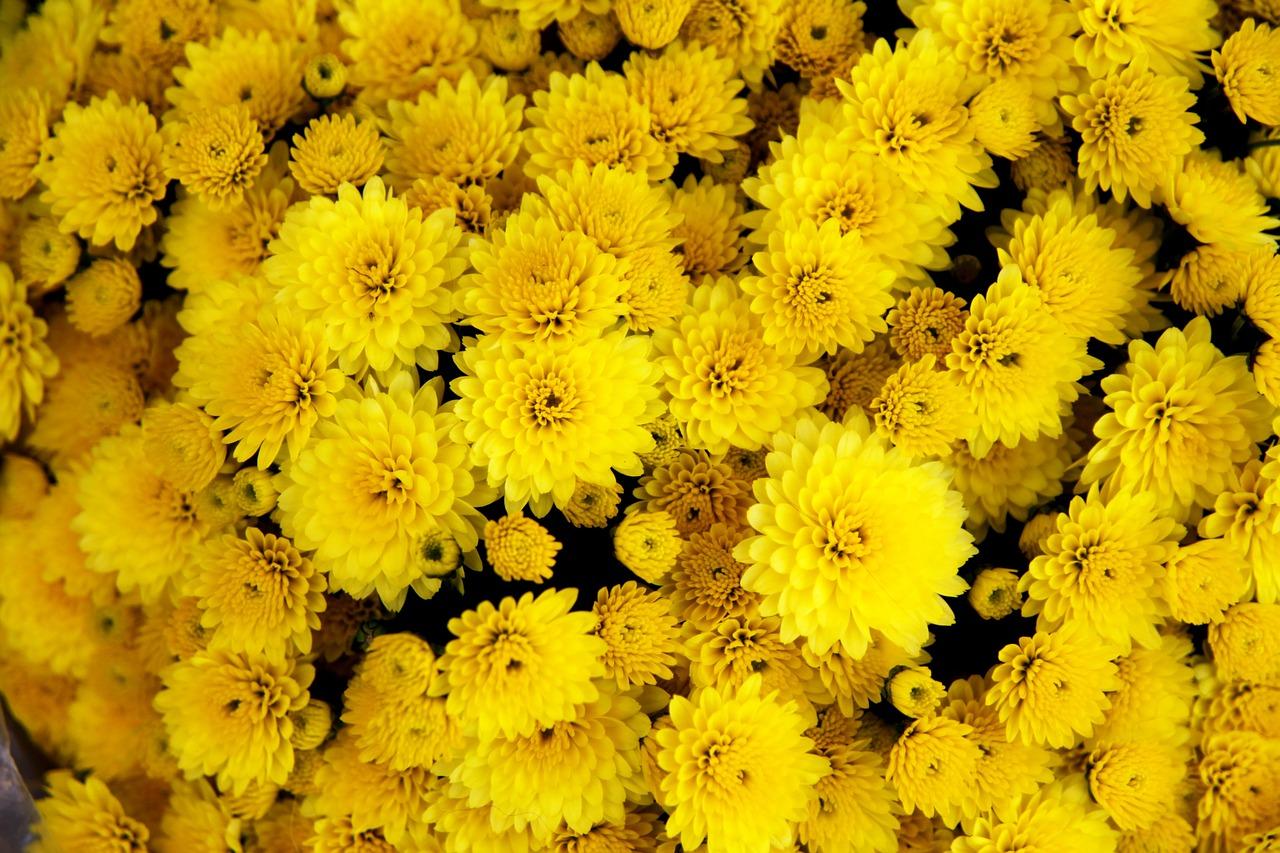 chrysanthemum-1013082_1280.jpg