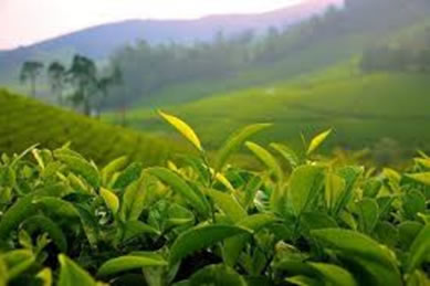 green_tea_field.jpg
